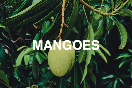 How to grow mangoes