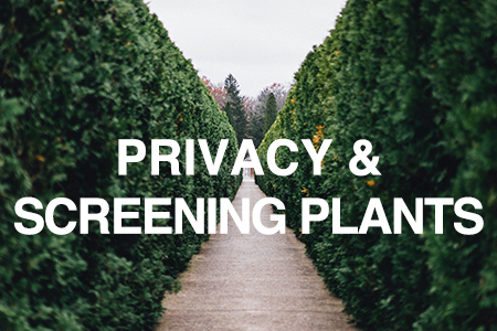 Privacy & screening plants