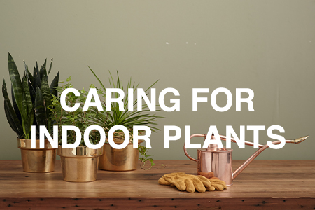 Caring for indoor plants
